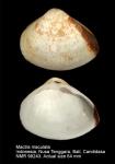 Mactra maculata