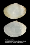 Anatina anatina