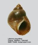 Littoraria cingulifera