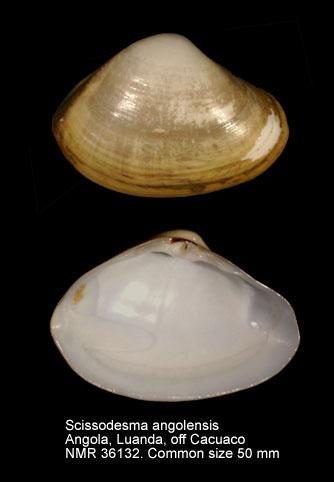 Scissodesma angolensis