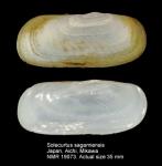 Solecurtus sagamiensis