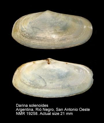 Darina solenoides