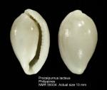 Procalpurnus lacteus