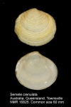 Semele crenulata