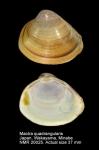 Mactra quadrangularis