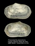 Montacuta phascolionis