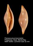 Phenacovolva brevirostris