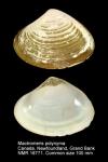 Mactromeris polynyma
