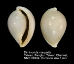 Diminovula margarita