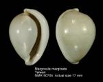 Margovula marginata