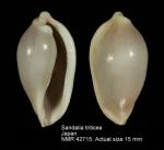 Sandalia triticea