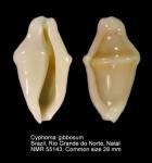 Cyphoma gibbosum