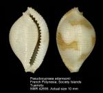 Pseudocypraea adamsonii