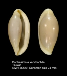 Contrasimnia xanthochila
