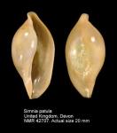 Simnia patula
