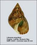 Littoraria angulifera