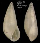 <i>Melanella praecurta</i> (Pallary, 1904)</b>Specimen from La Goulette, Tunisia (among algae 0-1 m, 27.05.2009), actual size 1.5 mm