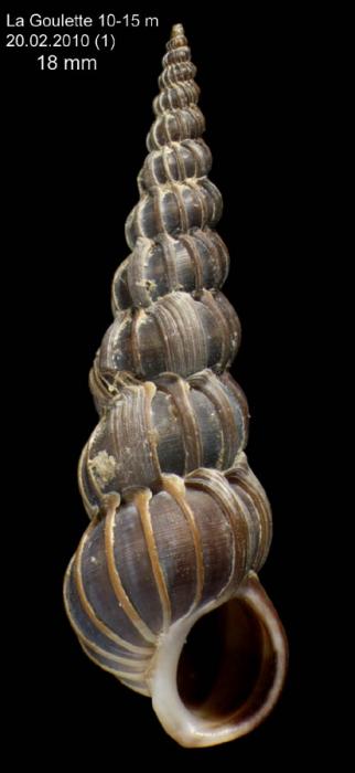 Epitonium turtonis (Turton, 1819) Specimen from La Goulette, Tunisia (soft bottoms 10-15 m, 20.02.2010), actual size 18.0 mm.