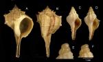 Bolinus brandaris (Linnaeus, 1758) A-D: Specimens from La Goulette, Tunisia (soft bottoms 10-15 m, 28.05.2009 and 19.01.2010), actual size 50 mm, 9.6 mm and 10.1 mm. E-F: détail of protoconchs of specimens C-D.
