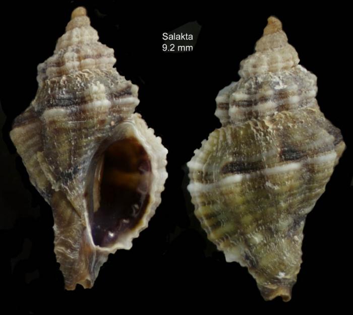 Ocinebrina edwardsii (Payraudeau, 1826) Specimen from Salakta, Tunisia, actual size 9.2 mm.