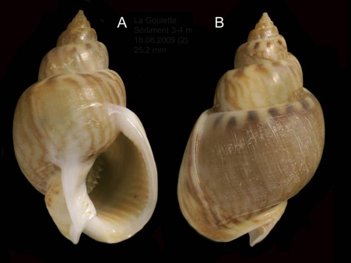 Nassarius mutabilis (Linnaeus, 1758) Specimen from La Goulette, Tunisia (soft bottoms 3-4 m, 18.08.2009), actual size 25.2 mm.