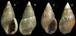 <i>Nassarius corniculum</i> (Olivi, 1792) </b>Specimens from La Goulette, Tunisia (among algae 0-1 m, 31.03.2009), actual size 10.1 and 9.3 mm