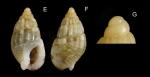 <i>Nassarius cuvierii </i>(Payraudeau, 1826) </b>Specimen from La Goulette, Tunisia (among algae 0-1 m, 23.02.2020), actual size 6.2 mm. G: Protoconch, same specimen