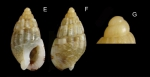 Nassarius cuvierii (Payraudeau, 1826) Specimen from La Goulette, Tunisia (among algae 0-1 m, 23.02.2020), actual size 6.2 mm. G: Protoconch, same specimen