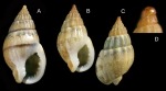 <i>Nassarius unifasciatus </i>(Kiener, 1834) </b>Specimens from La Goulette, Tunisia (among seagrass <i>Cymodocea nodosa</i>, 20.11.2008), actual size 14.5 and 12.5 mm. D: Protoconch and early whorls, same specimen as C.