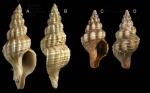 Fusinus syracusanus (Linnaeus, 1758) Specimens from La Goulette, Tunisia (among seagrass Cymodocea nodosa, 28.05.2009), actual size 40 mm and 12 mm.