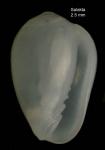 Gibberula philippii (Monterosato, 1878) Specimen from Salakta, Tunisia, actual size 2.5 mm