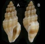 Mangelia unifasciata (Deshayes, 1835) Specimen from La Goulette, Tunisia (soft bottoms 10-15 m, 23.12.2009), actual size 5.5 mm.