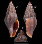 Bela zenetouae van Aartsen, 1988 Specimen from La Goulette, Tunisia (soft bottoms 3-4 m, 24.11.2009), actual size 6.7 mm.