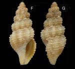 Bela brachystoma (Philippi, 1844) Specimen from La Goulette, Tunisia (soft bottoms 10-15 m, 19.01.2010), actual size 4.8 mm.