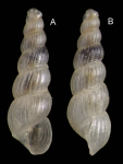 <i>Graphis albida</i> (Kanmacher, 1798) </b>Specimen from Salakta, Tunisia, actual size 2.0 mm