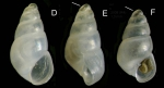 Odostomia kromi van Aartsen, Menkhorst &  Gittenberger, 1984Specimens from La Goulette, Tunisia (among algae 0-1 m, 27.05.2009), actual size 1.6 et 1.3 mm