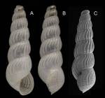 Chrysallida sigmoidea (Monterosato, 1880)Specimen from La Goulette, Tunisia (soft bottoms 10-15 m, 19.01.2010), actual size 2.7 mm. C: another specimen unde SEM, actual size 2.5 mm.