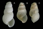<i>Chrysallida juliae </i>(de Folin, 1872)</b>A: Shell from La Goulette, Tunisia (soft bottoms 10-15 m, 24.11.2009), actual size 1.7 mm. B-C: live-taken specimen (same site, 31.03.2010), actual size 1.4 mm.