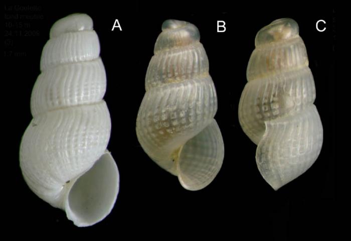 Chrysallida juliae (de Folin, 1872)A: Shell from La Goulette, Tunisia (soft bottoms 10-15 m, 24.11.2009), actual size 1.7 mm. B-C: live-taken specimen (same site, 31.03.2010), actual size 1.4 mm.