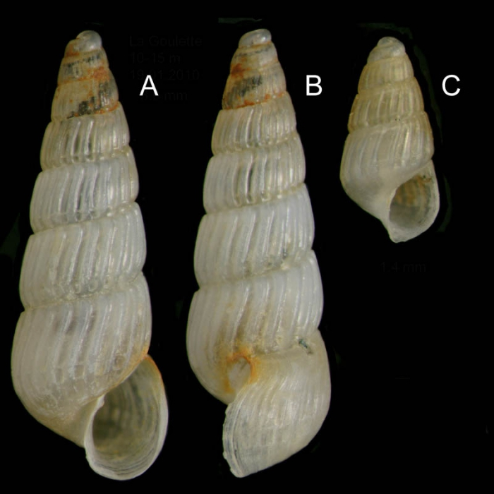 Chrysallida terebellum (Philippi, 1844)Specimens from La Goulette, Tunisia (soft bottoms 10-15 m, 19.01.2010), actual size 3.0 mm and 1.4 mm,