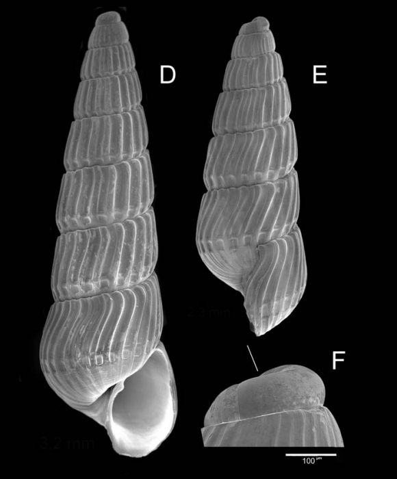 Chrysallida terebellum (Philippi, 1844)Specimens from La Goulette, Tunisia (soft bottoms 10-15 m, 19.01.2010), SEM, actual size 3.2 and 2.3 mm. F: protoconch, scale bar 100 µm, same spcimen as  E; the line indicates coiling axis