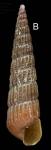 <i>Turbonilla rufa </i>(Philippi, 1836) </b>Specimen from La Goulette, Tunisia (soft bottoms 10-15 m, 19.01.2010), actual size 7.8 mm.