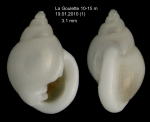 Ringicula conformis Monterosato, 1877  Specimen from La Goulette, Tunisia (soft bottoms 10-15 m, 19.01.2010), actual size 3.1 mm