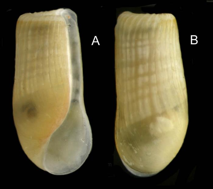 Retusa truncatula (Bruguière, 1792) Specimen from La Goulette, Tunisia (among algae 0-1 m, 22.06.2008), actual size 2.8 mm.