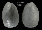 Philine catena (Montagu, 1803) Specimen from La Goulette, Tunisia (among algae 0-1 m, 30.08.2008), actual size 2.8 mm