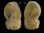 Haminoea orbignyana (de Férussac, 1822) Specimen from La Goulette, Tunisia (among seagrass Cymodocea nodosa, 5 m, 19.09.2008), size of shell 8.0 mm.