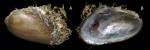 Gregariella petagnae (Scacchi, 1832)Specimen from La Goulette, Tunisia (among algae 0-1 m, 22.06.2008), actual size 6.2 mm.