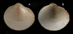 Fulvia fragilis (Forsskl in Niebuhr, 1775)  Juvenile specimen from La Goulette, Tunisia (soft bottoms 10-15 m, 18.08.2009), actual size 9.5 mm.