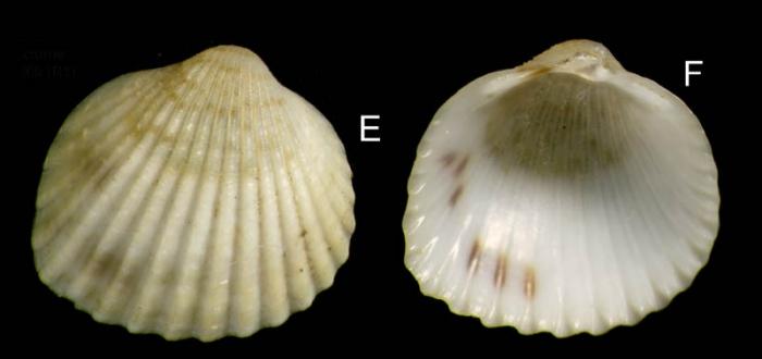 Parvicardium scriptum (Bucquoy, Dautzenberg & Dollfus, 1892) Spcimen from La Goulette, Tunisia (among seagrass Cymodocea, 30.03.2009), actual size 4.3 mm.