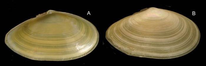 Tellina nitida Poli, 1791  Specimen from La Goulette, Tunisia (soft bottoms 10-15 m, 18.08.2009), actual size 35 mm